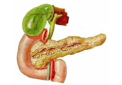 Pancreas cadaver