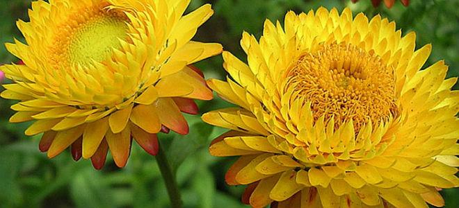 желтые сухие цветы