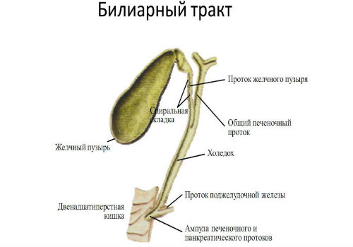билиарный тракт