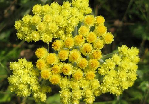 растение с невянущими цветами