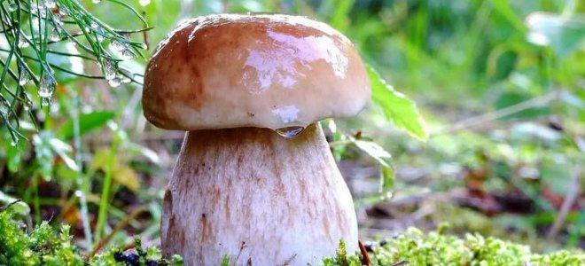 белый боровой гриб