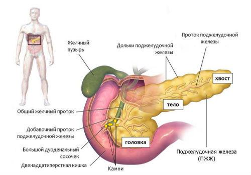Схематический рисунок поджелудочной железы