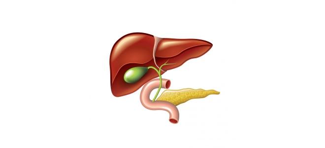 картинка органы пищеварения