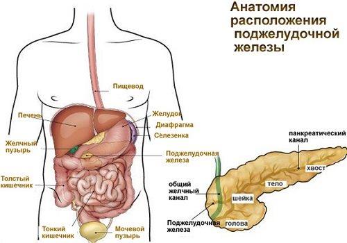 Поджелудочная железа размеры головки и тела thumbnail