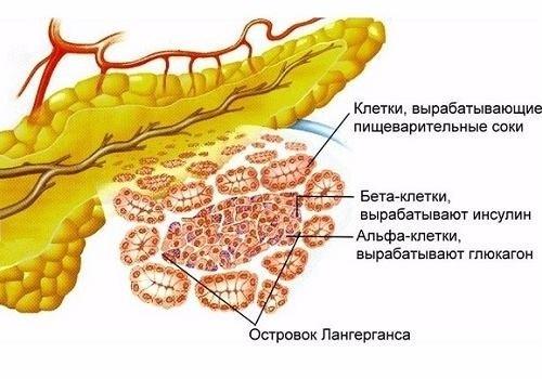 структура паренхимы железы