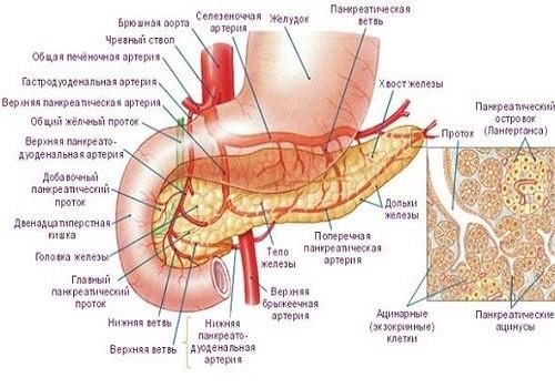 Кровоснабжение ПЖ
