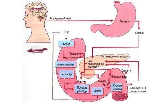 пищеварительный процесс