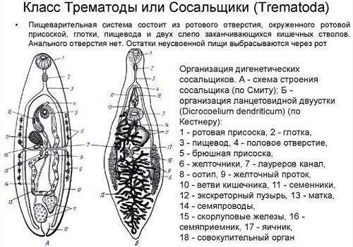 Трематода